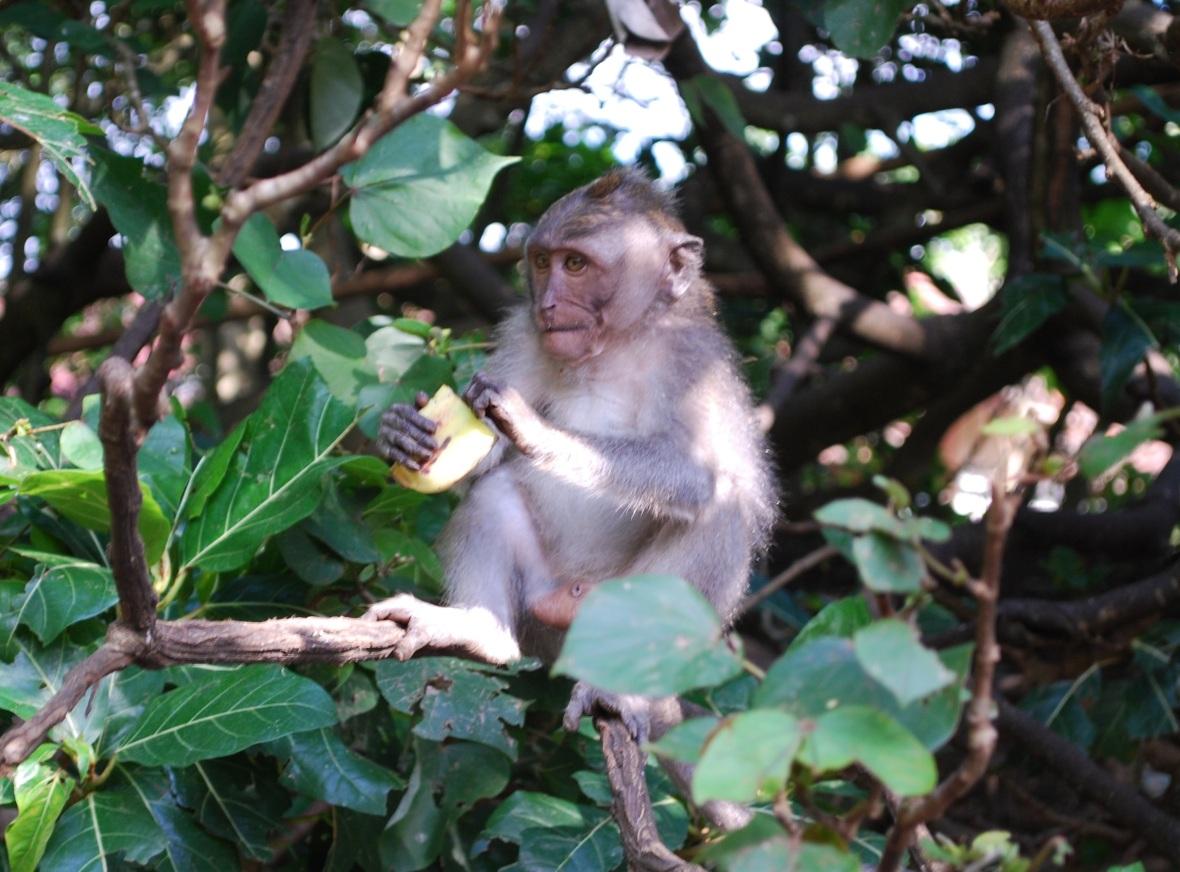 Bali-monkey-forrest4