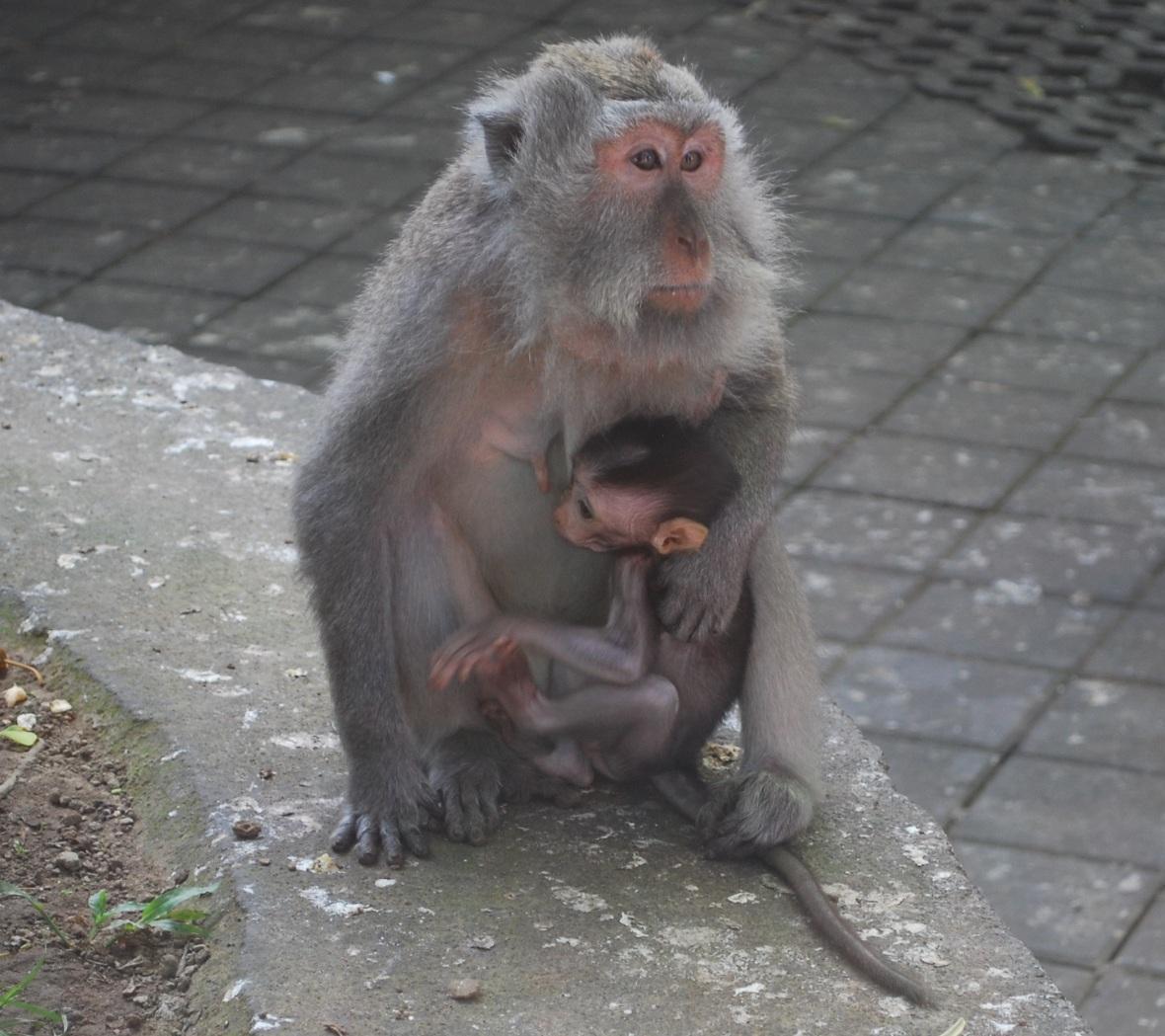 Bali-monkey-forrest6