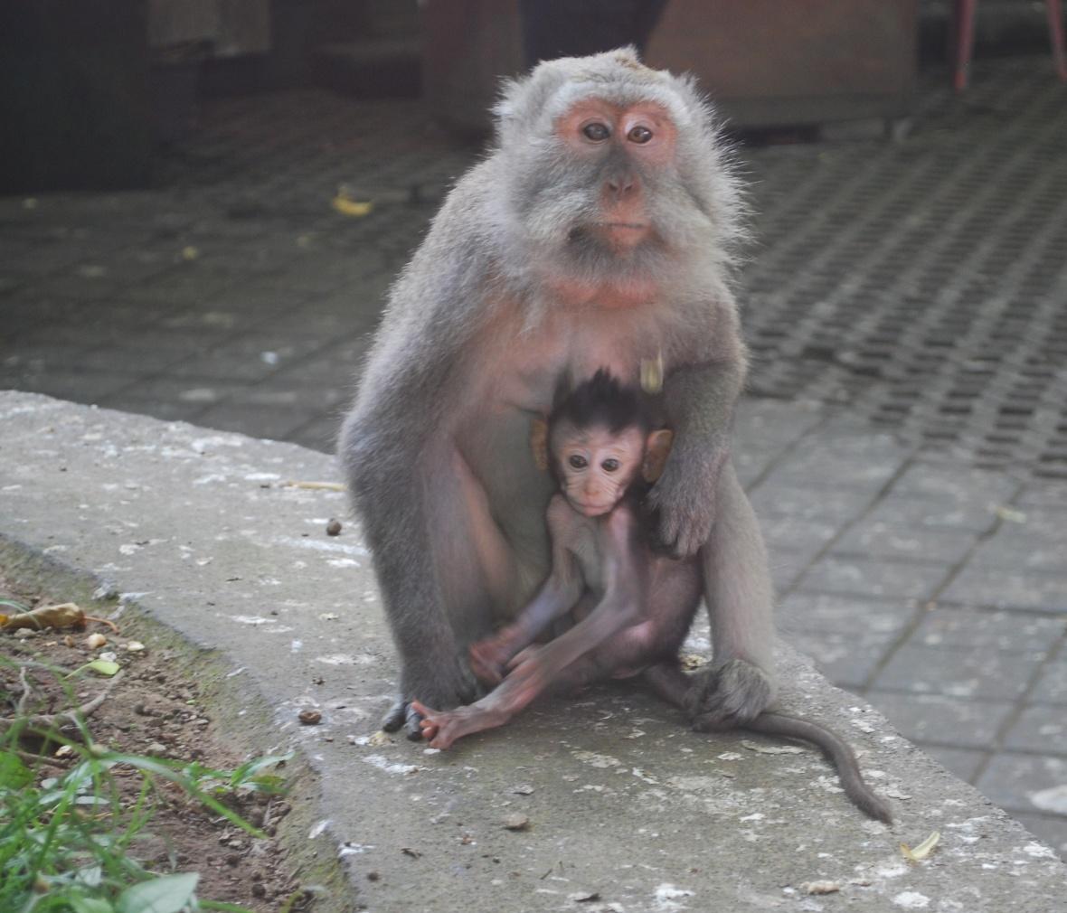 Bali-monkey-forrest7