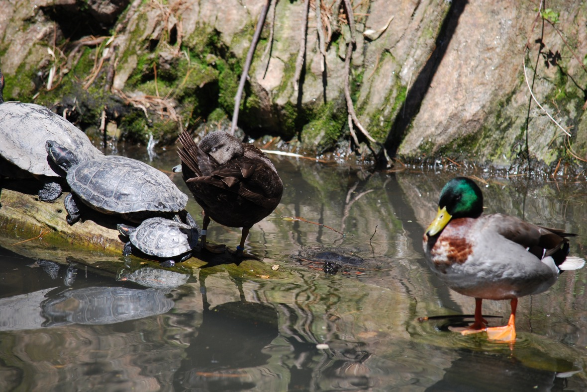 turtles-and-ducks