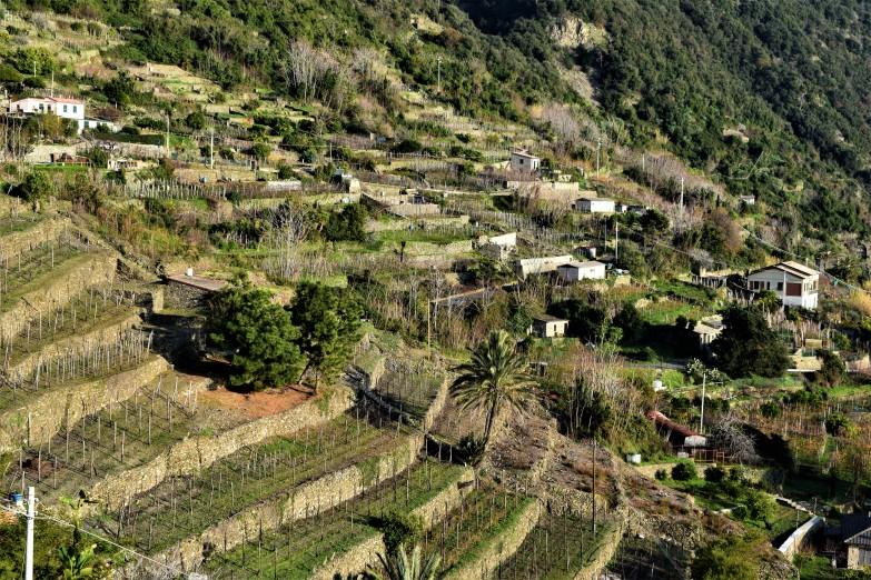 corniglia-vinyards