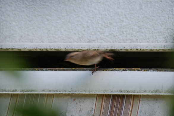 Mummy-sparrow