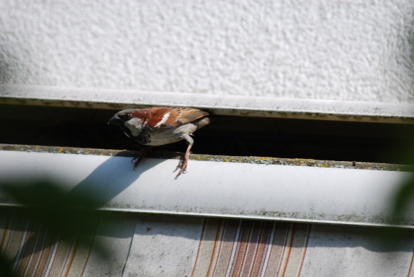 Daddy-sparrow