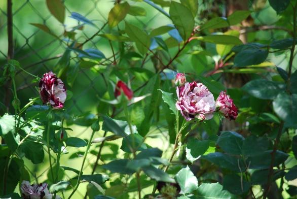 rose-bringe