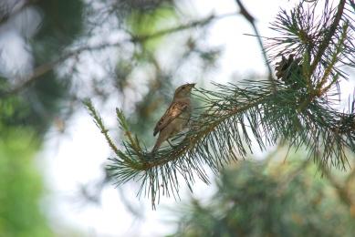 sparrow-pinetree1