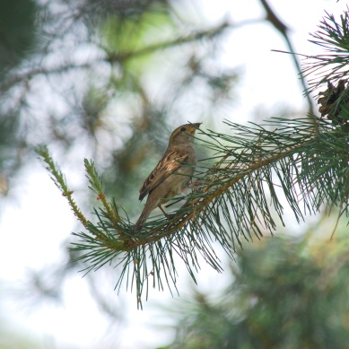 sparrow-pinetree1