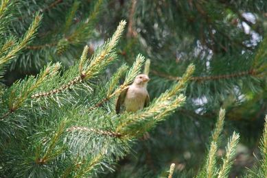 sparrow-pinetree3