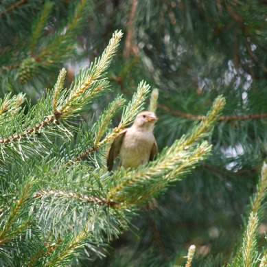 sparrow-pinetree3
