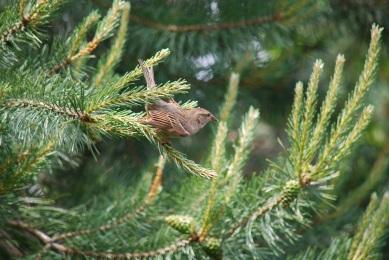 sparrow-pinetree4