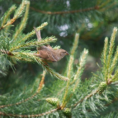 sparrow-pinetree4
