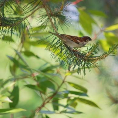 sparrowpinetree