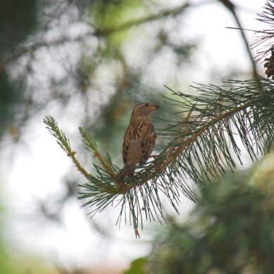 sparrowpinetree2
